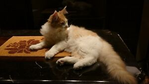 Purebred Maine Coon Kitten For Sale
