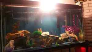 100 Gallon fish tank with over 40 african cichlids + Stand Kitchener / Waterloo Kitchener Area image 4