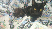 Solid black Manx Kitten and Black short haired female
