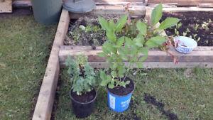 Miss Kim' Lilac shrub, Tree and blue cat mint