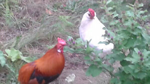 2 free nice roosters