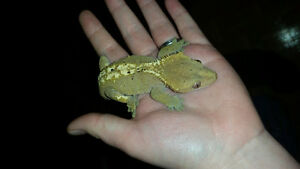 Crested Gecko Males