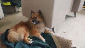 Pomeranian Type Dog Found in Clarkson Mississauga