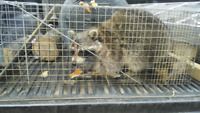 Raccoon removal, pest control and Wildlife removal