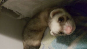 Selling my 1 year old ferret