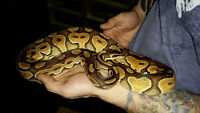 2014 Ball Python Morphs - AMAZING PRICES!