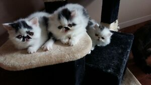 T.I.C.A. REG. EXOTICS SHORT HAIR AND PERSIAN KITTENS
