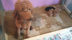 9 chiots Goldendoodle - 5 chiots Caniches Royal pure race