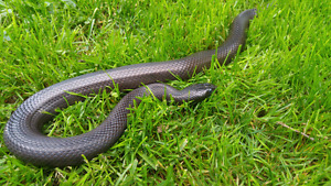 Beautiful Mexican Black King Snake NEED GONE!