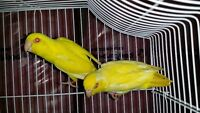 Young pet quality or breeding PARROTLETS
