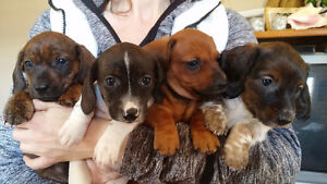 Beautiful Purebred Mini Dachshund puppies