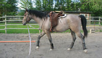 2 yr old Andalusian TB gelding