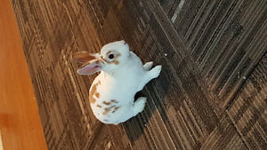 RABBIT white FREE to good home (GONE)