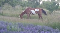 APHA MARE 15yrs young 16HH URGENT MOVING