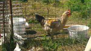 Amercauna rooster and 2 hens