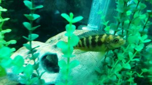 Bumble bee African cichlid