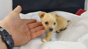 CHIHUAHUA PUPPIES, TEACUP SIZE, READY NOW