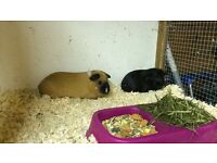 2 female guinea pigs