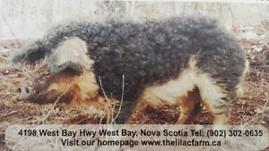 Wooly pigs / mangalitsa pigs for sale