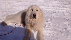 Spayed Great Pyrenees For Sale