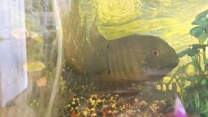 Breeding pair of Green Severums