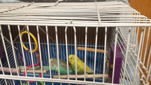 Male and female budgies need a good home!