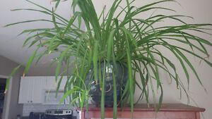 Large Spider plant for sale