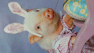 Micro Pigs - Rescued