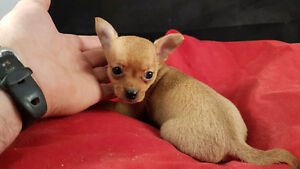 CHIHUAHUA PUPS, TEACUPS, GORGEOUS FEMALES, GREAT PRICE