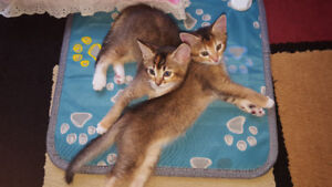 Abyssinian Ragdoll mix kittens are ready to go to new home