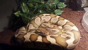 Selling a 2 year old ball python with small tank