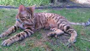 REWARD LOST  YOUNG MALE BENGAL CAT Cambridge Kitchener Area image 3