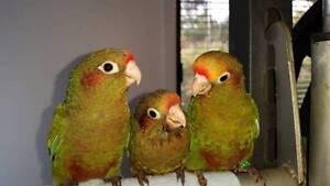 Swap Rose Crowns for Sun Conure/Jenday/Blue Throat conure Bendigo Bendigo City Preview