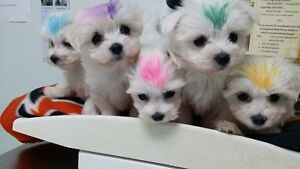 Maltese pups ****2 left ****current photos