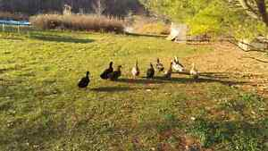 Organic ducks for sale $10 Each. London Ontario image 2