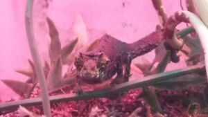 There horned pygmy chameleon Reefs N Reptiles