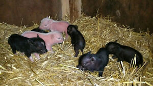 Julianna/micro mini pigs for sale