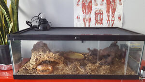 Adult Corn Snake Inc. Tank & Accessaries looking for a Good Home