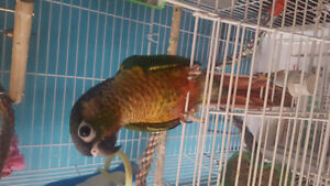 Two baby conures for $350