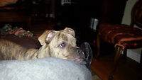 Beautiful 9 month old male Boston Terrier/ Sharpei Mix Available