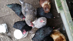 Young roosters for sale variety of breeds