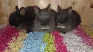A&B Netherland Dwarf Rabbitry