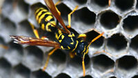 Wasp & Hornets nest removal services