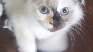 3 super cute ragdoll kittens (delivery available)