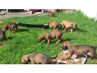 KC Reg Rhodesian Ridgeback Puppies