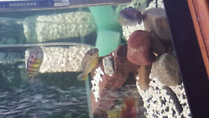 Ice blue cichlid and yellow auratus