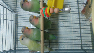 ⭐❤5 Baby lovebirds⭐❤Starting from 79.95 Peach face, and mutation