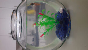 Beautiful Betta Fish with Bowl, Food and Water Cleaner