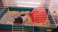 Guinea Pig Cage,Food,Water Bottle,Shavings,and Hut
