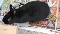 FREE FEMALE NETHERLAND DWARF RABBIT